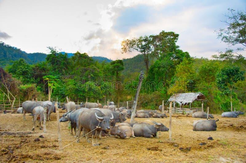 Gregge del bufalo domestico Tailandia immagine stock
