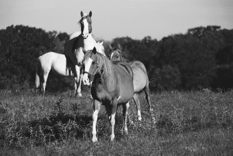 Gregge del cavallo in bianco e nero fotografia stock