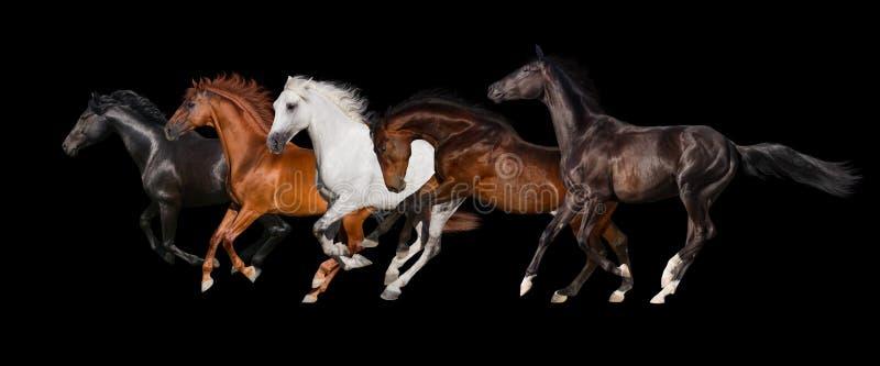 Gregge del cavallo isolato fotografia stock libera da diritti