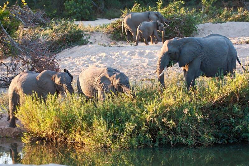 Gregge del gioco dell'elefante accanto al fiume fotografie stock