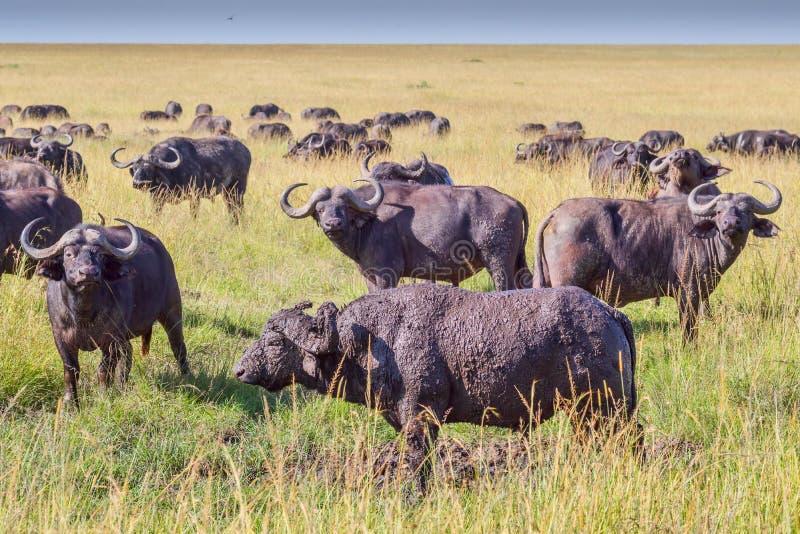 Gregge dell'Africano & di x28; Cape& x29; Buffalo in masai Mara immagini stock libere da diritti