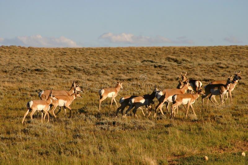 Gregge dell'antilope immagini stock