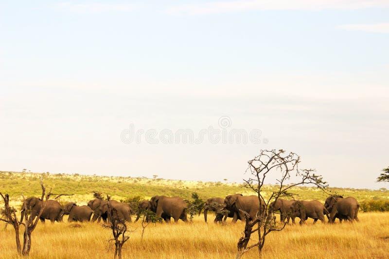 Gregge dell'elefante immagini stock libere da diritti