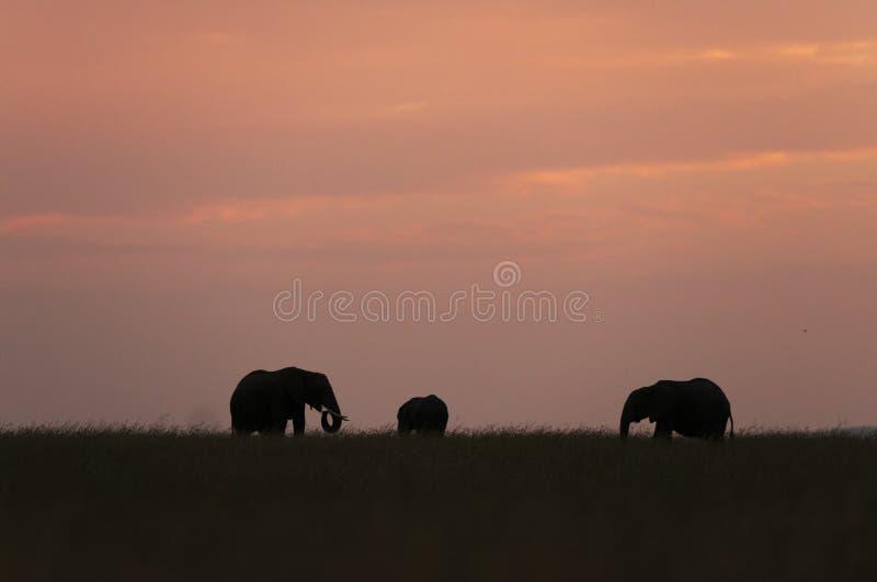Gregge dell'elefante al tramonto ai masai Mara Game Reserve, Kenya fotografie stock