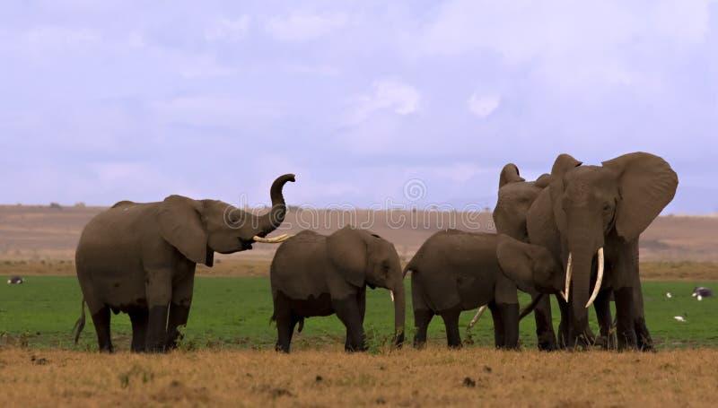 Gregge dell'elefante in Amboseli fotografie stock