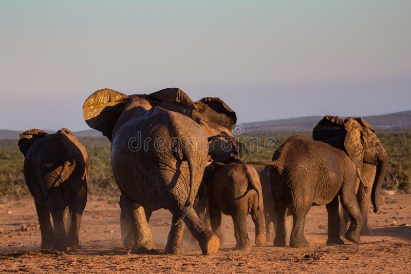 Gregge dell'elefante che si muove attraverso il cespuglio africano fotografie stock libere da diritti