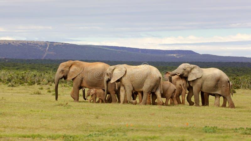 Gregge dell'elefante di allevamento fotografia stock libera da diritti
