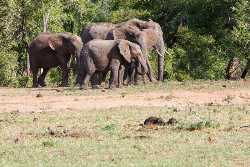 Gregge dell'elefante immagine stock