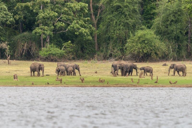 Gregge dell'elefante sulle banche della diga di Kabini, Kabini, Nagarhole, il Karnataka, India fotografia stock