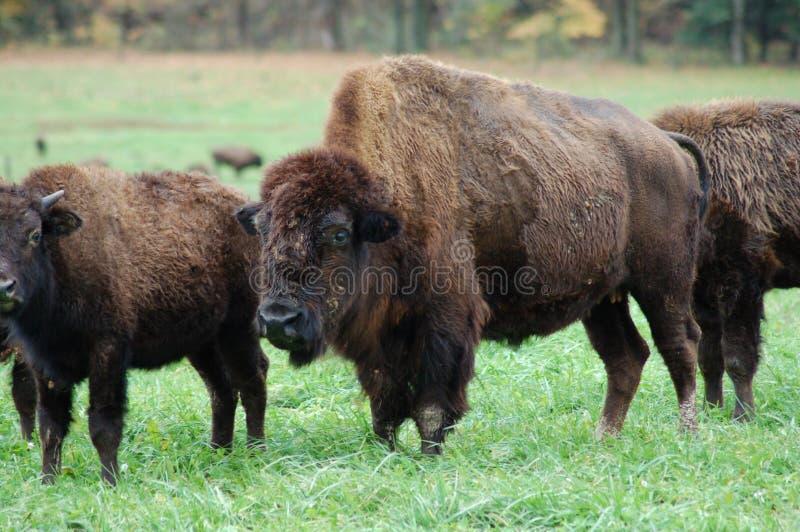 Gregge della Buffalo immagine stock libera da diritti