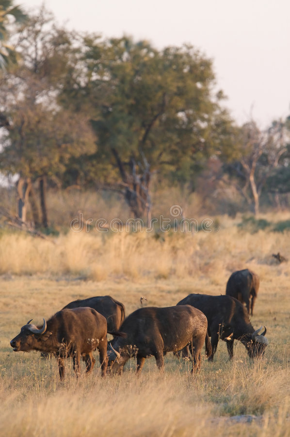 Gregge della Buffalo africana immagine stock libera da diritti