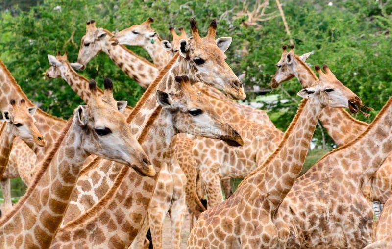 Gregge della giraffa fotografia stock libera da diritti