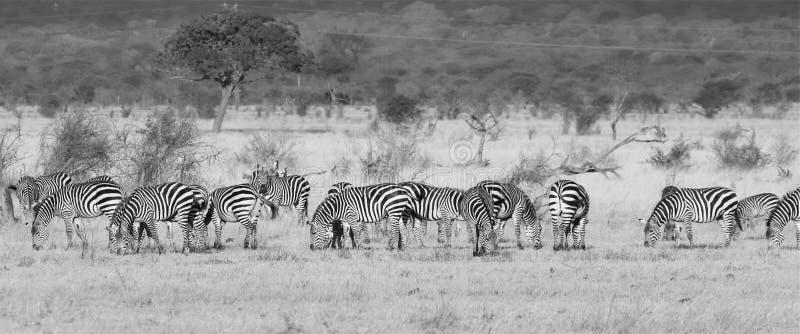 Gregge della zebra immagini stock libere da diritti