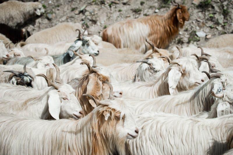 Gregge delle capre del Kashmir dall'azienda agricola indiana dell'altopiano fotografie stock libere da diritti