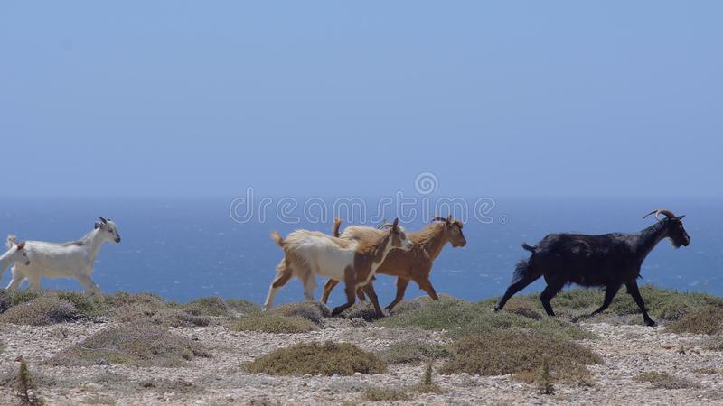 Gregge delle capre selvatiche che passano vicino fotografie stock libere da diritti