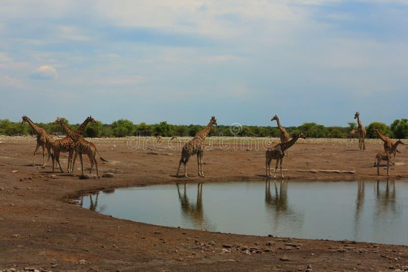 Gregge delle giraffe fotografie stock libere da diritti