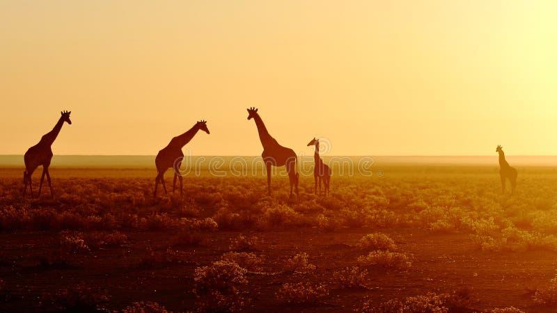 Gregge delle giraffe ad alba fotografia stock
