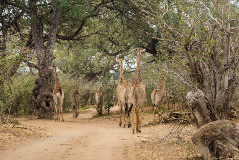 Gregge delle giraffe che camminano sulla strada della ghiaia del parco di Kruger immagine stock