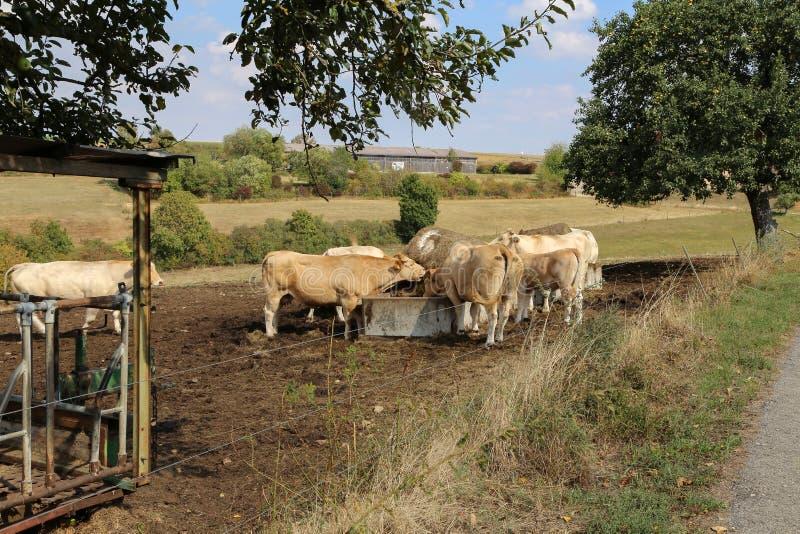 Gregge delle mucche fotografia stock libera da diritti