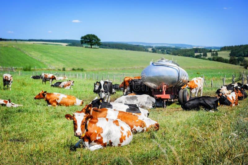Gregge delle mucche al campo verde Concetto agricolo fotografia stock