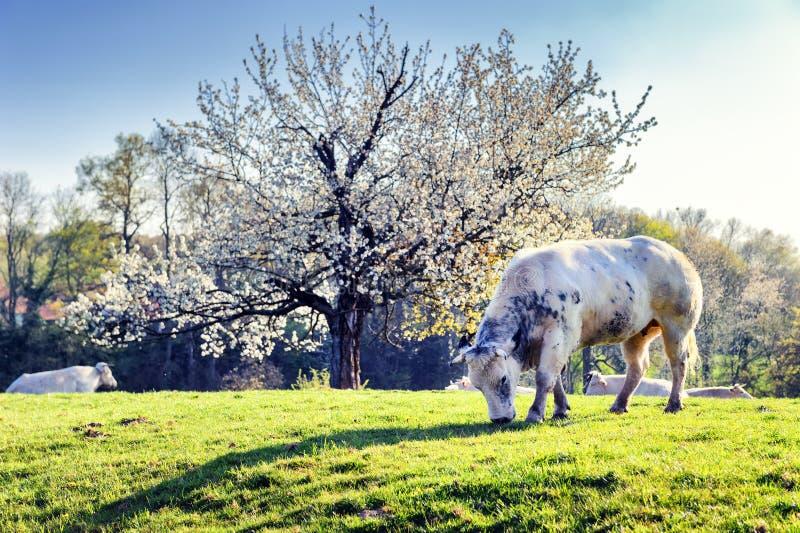 Gregge delle mucche al giacimento verde della molla fotografia stock libera da diritti