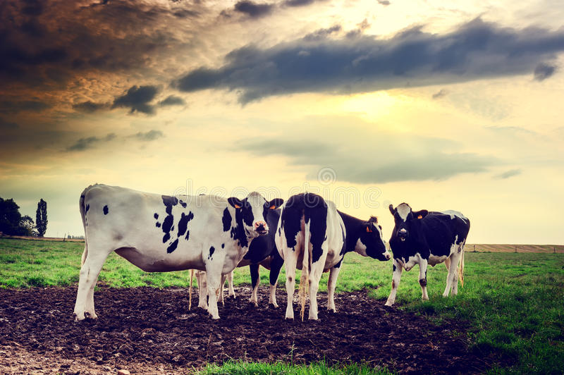 Gregge delle mucche al tramonto immagini stock libere da diritti