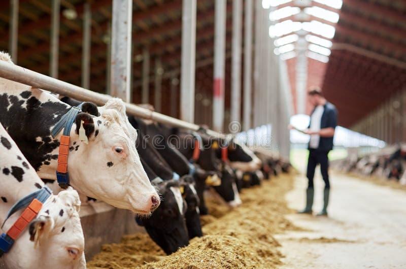 Gregge delle mucche che mangiano fieno in stalla sull'azienda lattiera fotografia stock