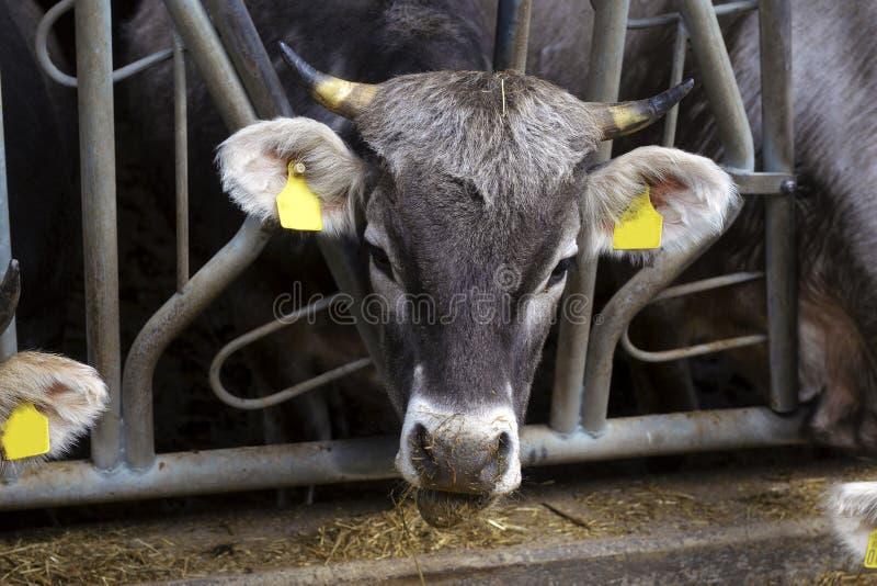 Gregge delle mucche che mangiano fieno in stalla sull'azienda lattiera immagine stock
