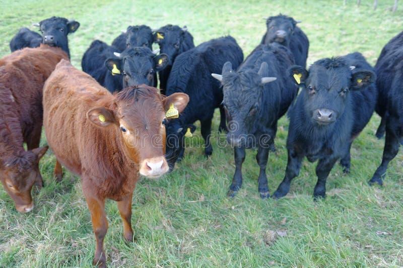 Gregge delle mucche curiose in un campo inglese tewin, Hertfordshire fotografie stock libere da diritti