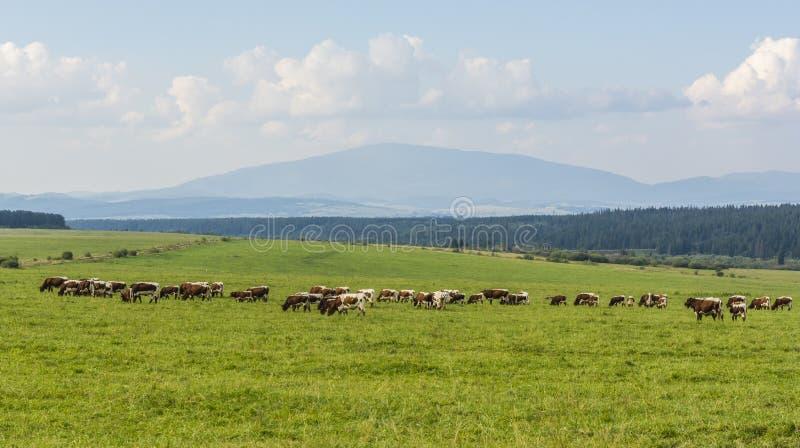 Gregge delle mucche nel pascolo immagini stock libere da diritti