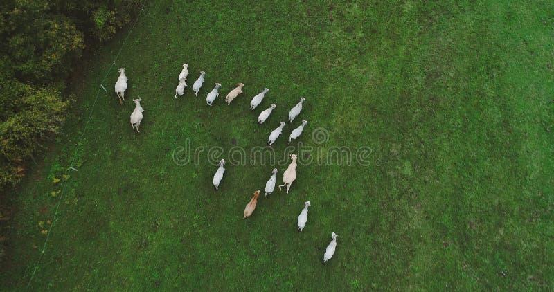 Gregge delle mucche in un prato immagini stock libere da diritti