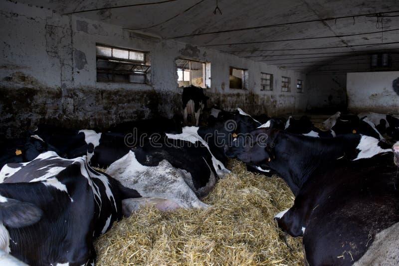 Gregge delle mucche in una stalla immagini stock