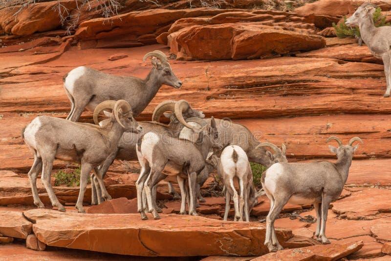 Gregge delle pecore Bighorn del deserto fotografie stock libere da diritti