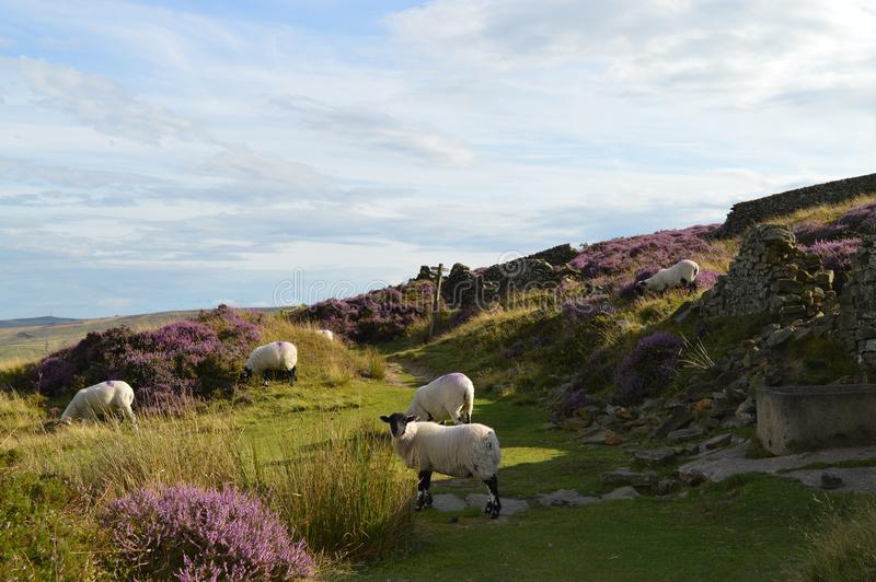 Gregge delle pecore in distretto di punta Inghilterra fotografie stock