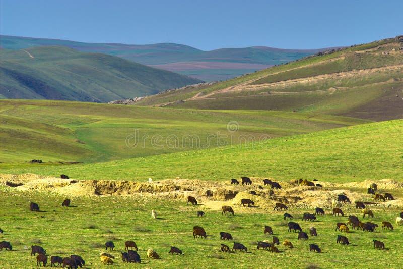 Gregge delle pecore in montagne fotografie stock libere da diritti