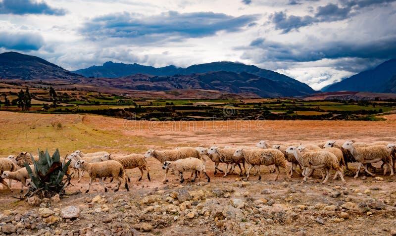Gregge delle pecore nel Perù fotografia stock libera da diritti