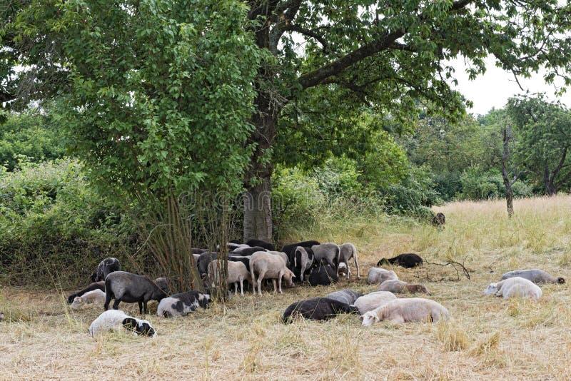 Gregge delle pecore nella duna di Schwanheimer della riserva naturale a Francoforte sul Meno, Hesse, Germania fotografie stock libere da diritti