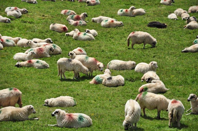 Gregge delle pecore nelle montagne fotografie stock libere da diritti