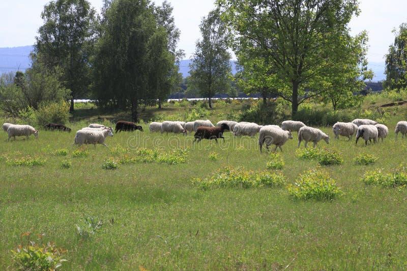 Gregge delle pecore sul pascolo nel parco naturale pubblico, dune di sabbia Sandweier Baden-Baden fotografia stock libera da diritti