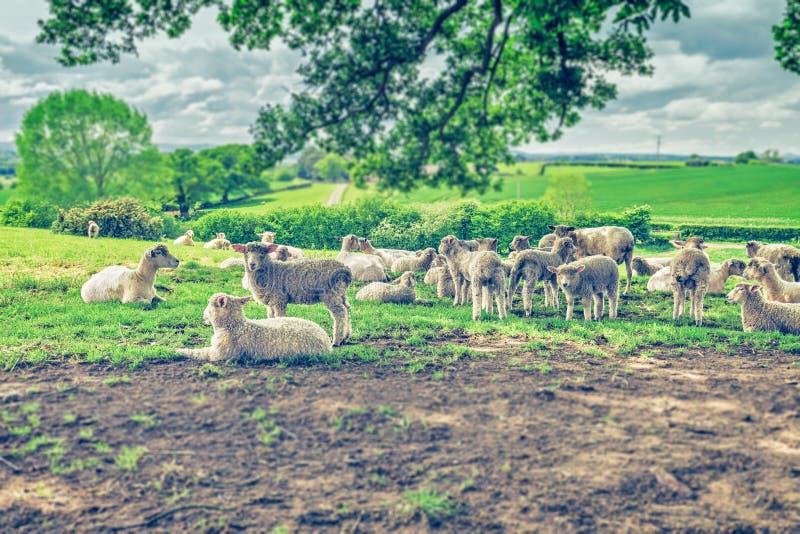 Gregge delle pecore sul pascolo verde fresco immagine stock libera da diritti