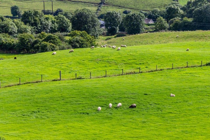 Gregge delle pecore in un campo dell'azienda agricola in itinerario del Greenway da Castlebar a W immagine stock libera da diritti