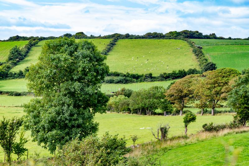 Gregge delle pecore in un campo dell'azienda agricola in itinerario del Greenway da Castlebar a W immagine stock