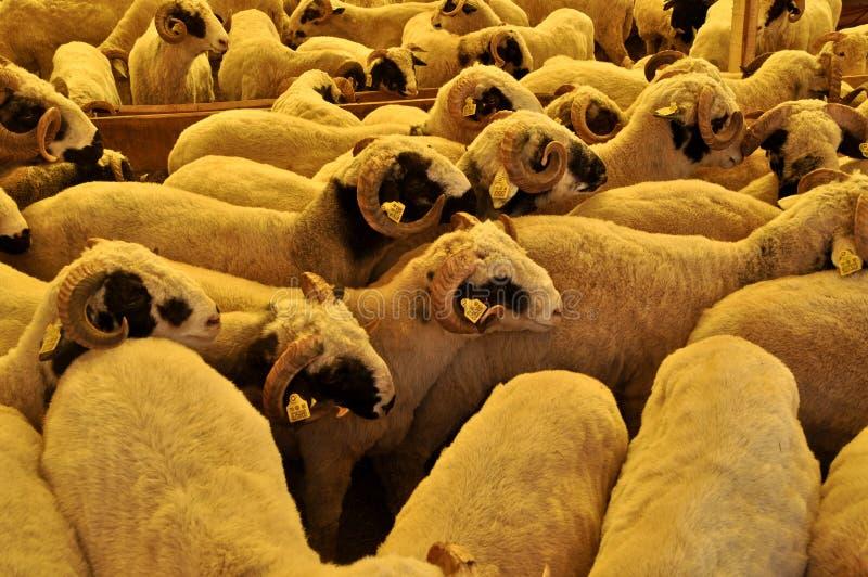 Gregge delle ram e pecore nel mercato animale fotografia stock