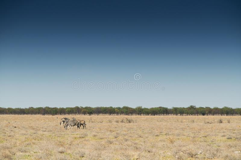 Gregge delle zebre che camminano sul etosha nafta l'africa immagini stock
