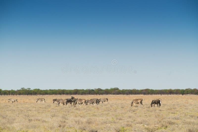 Gregge delle zebre che camminano sul etosha nafta l'africa fotografia stock