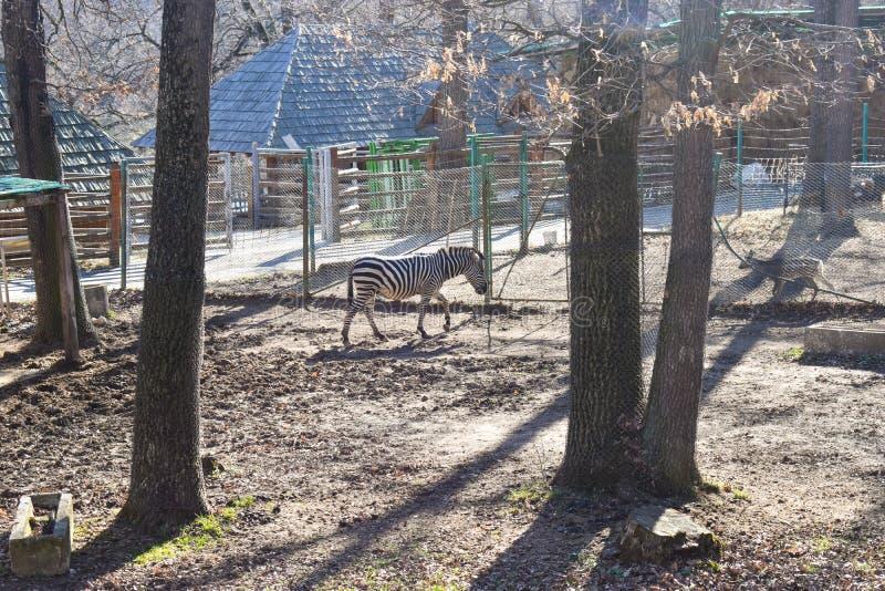 Gregge delle zebre nello ZOO fotografia stock