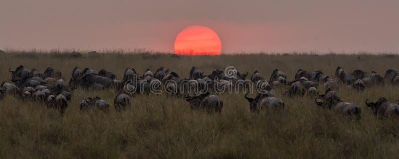 Gregge dello gnu che cammina nel tramonto dopo l'attraversamento della Nile River immagine stock libera da diritti