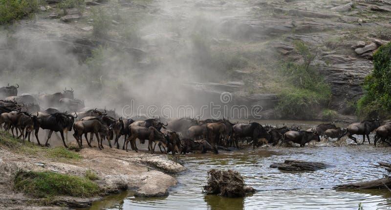 Gregge dello gnu che migra sopra un safari della o avvistato fiume fotografia stock libera da diritti