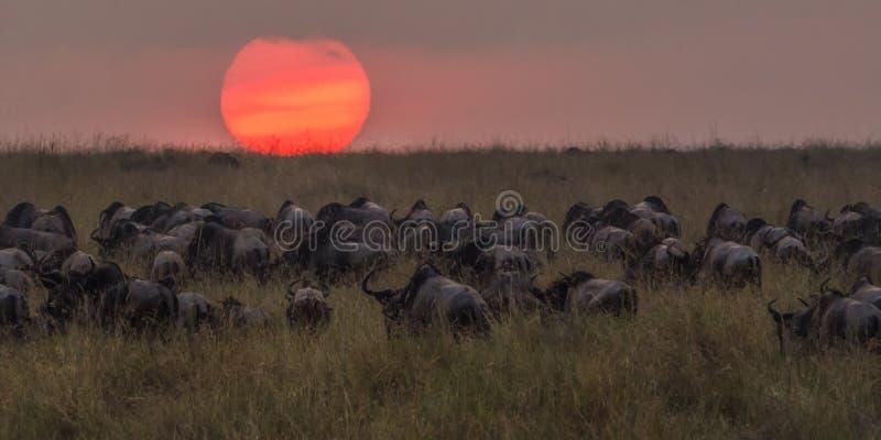 Gregge dello gnu nel tramonto dopo l'attraversamento della Nile River immagini stock libere da diritti