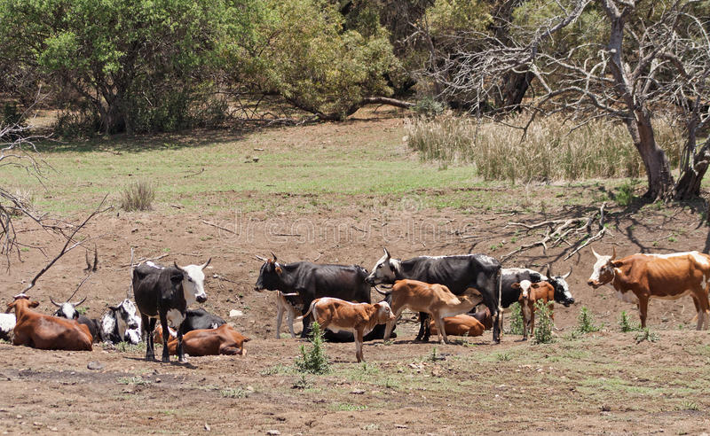 Gregge di bestiame su un'azienda agricola vicino a Rustenburg, Sudafrica fotografia stock